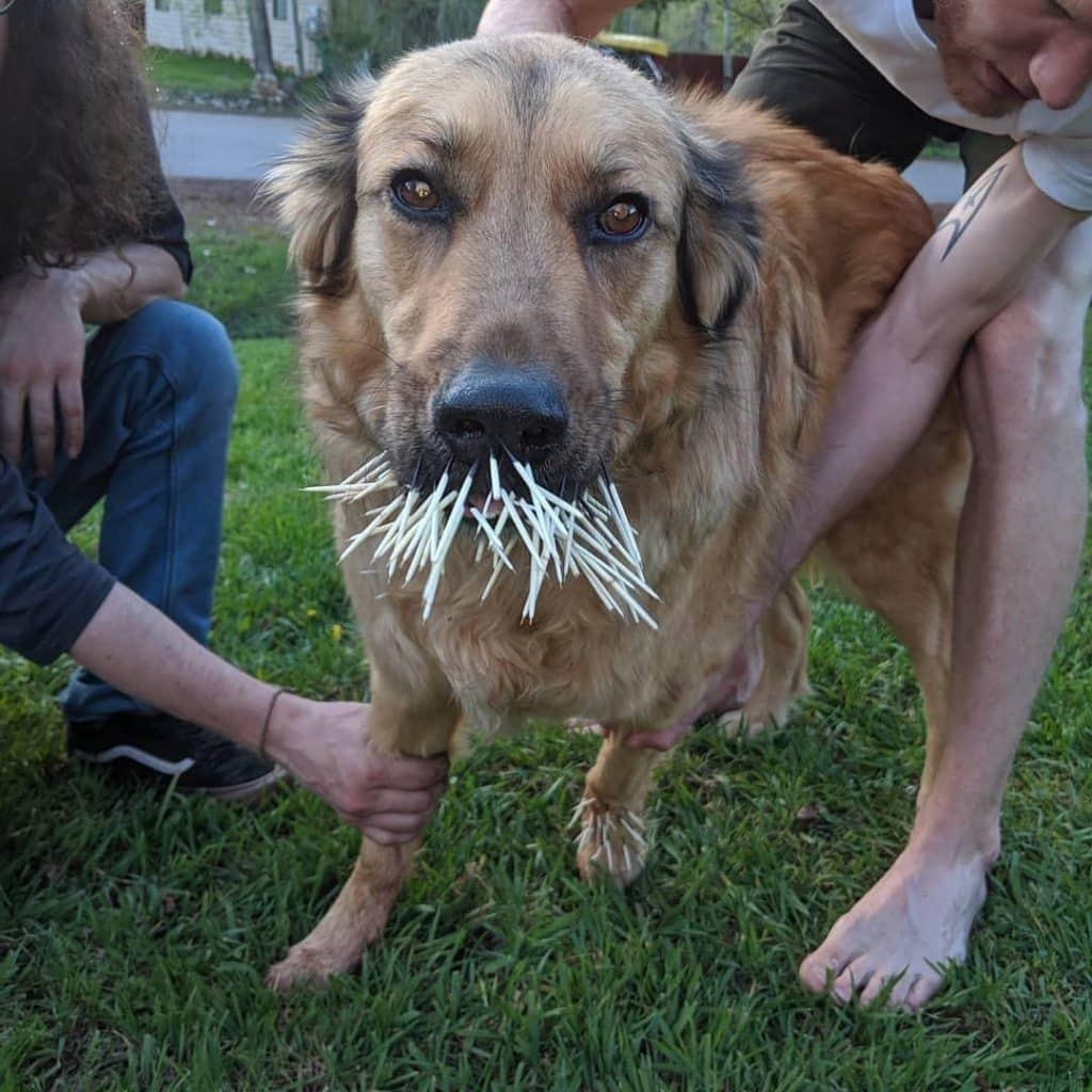 My bf, Kate Hertzog, has an unexpected visit to Pet Care Clinic after her dog, Rolo had an unexpected encounter with a porcupine on Pamela Lane.