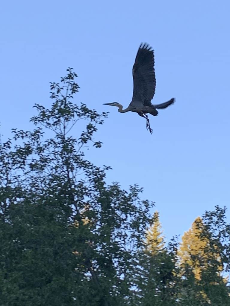 Heron takes flight over Spring Creek.