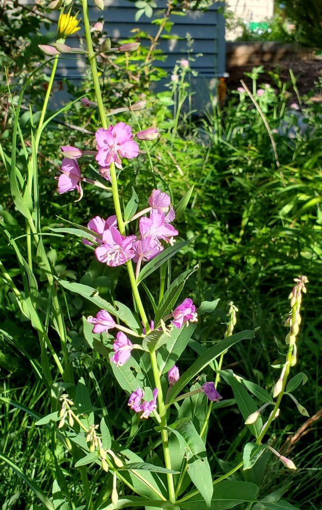 Fireweed with a yellow salsify.