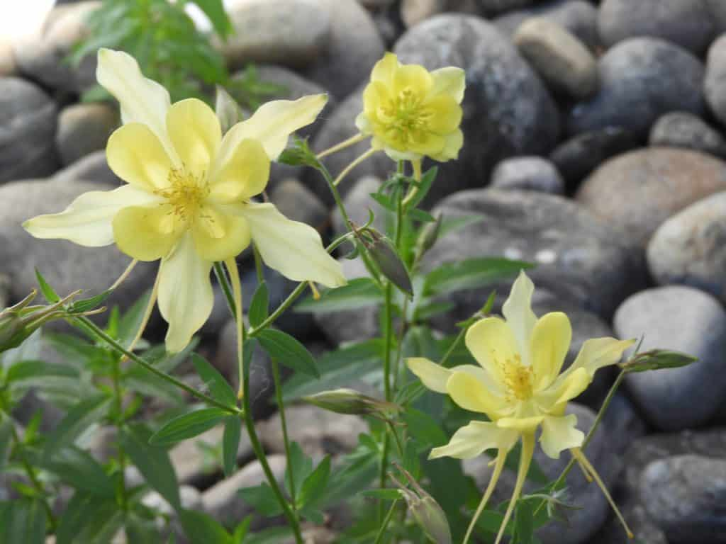Beautiful Columbine.