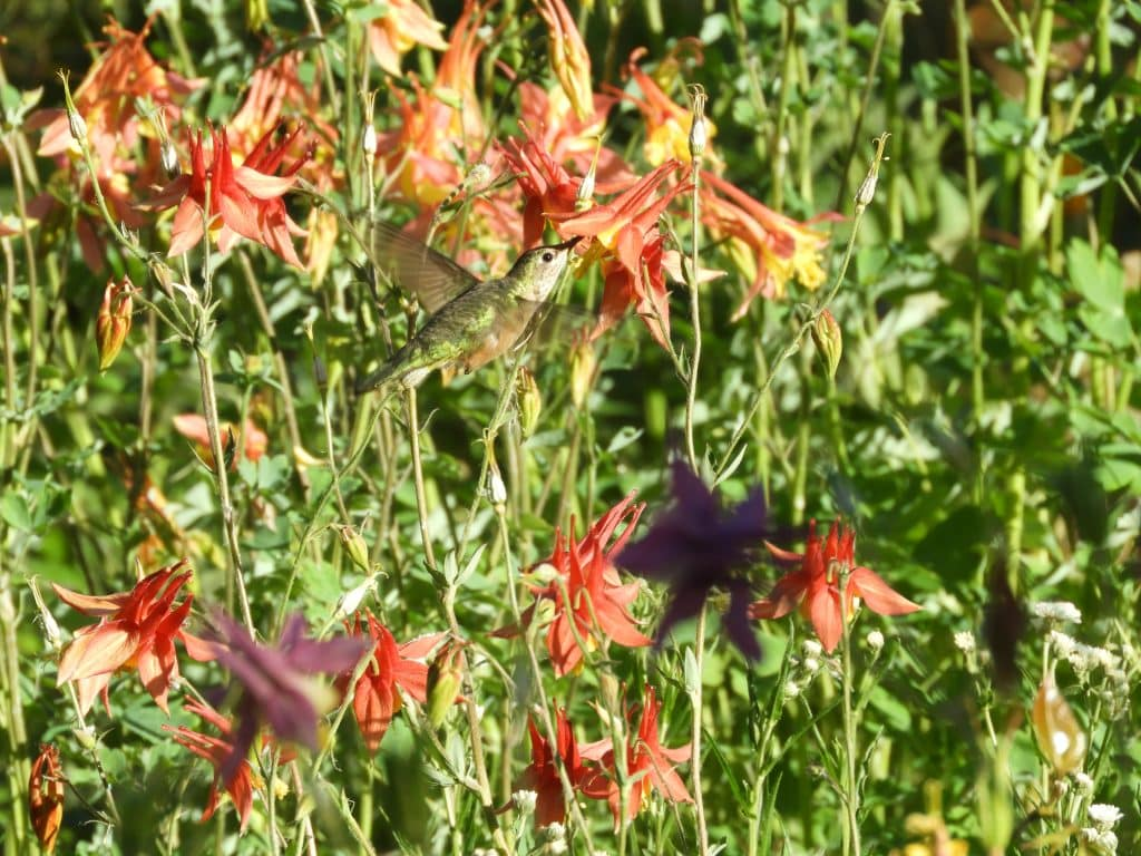 I feel so lucky to get this hummingbird at the Yampa River Botanic Garden in Steamboat Springs.