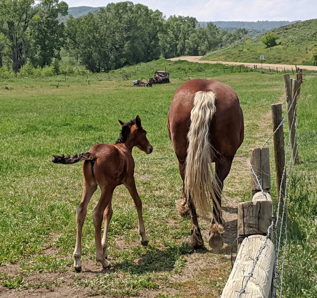 Two-week old foal with its Mom at Del's Triangle 3 Ranch in the Elk River Valley.