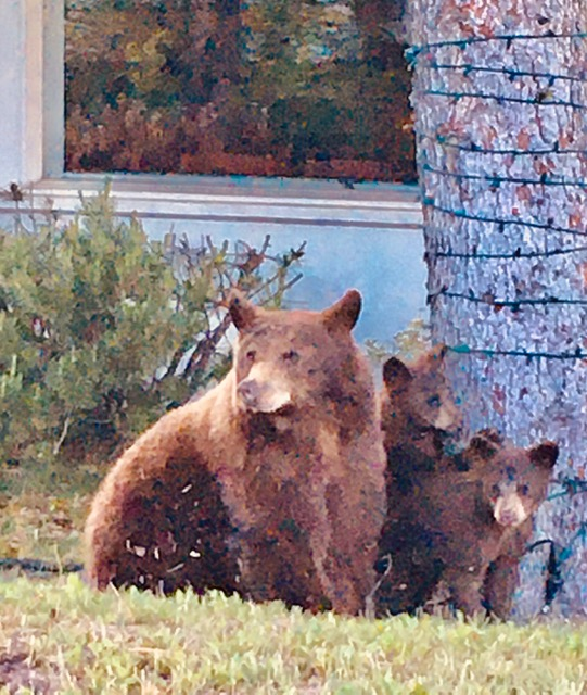 Bear family in Routt County.
