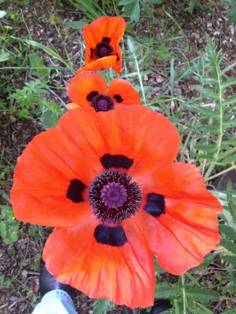 Poppies in Routt County.