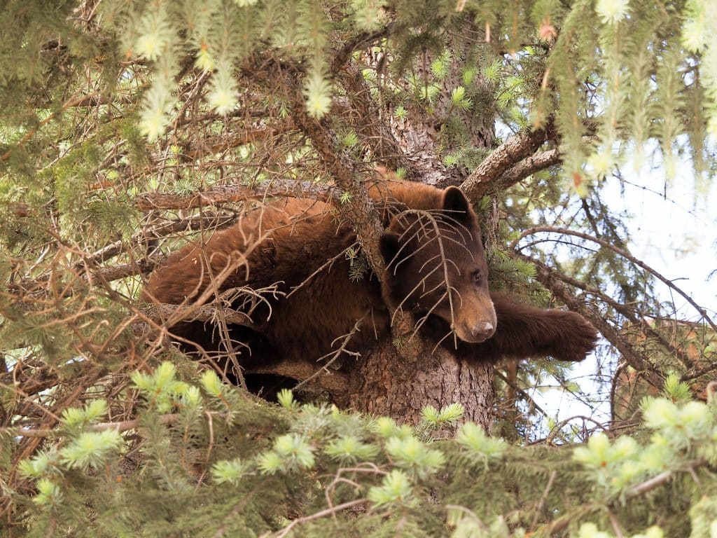 We found this mama and her 2 babies napping in a tree on Tuesday morning in Steamboat