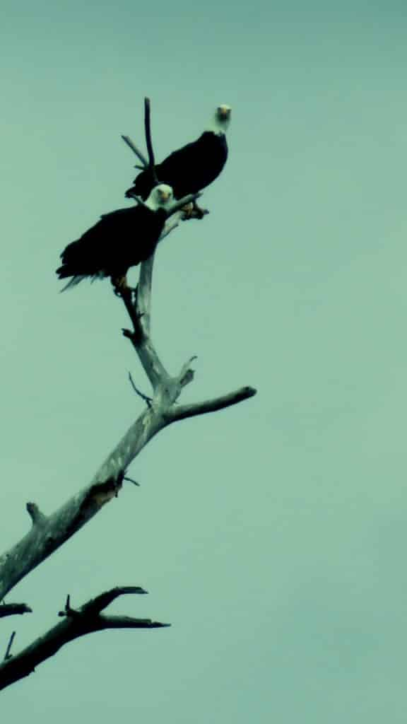 Bald eagles in Routt County.