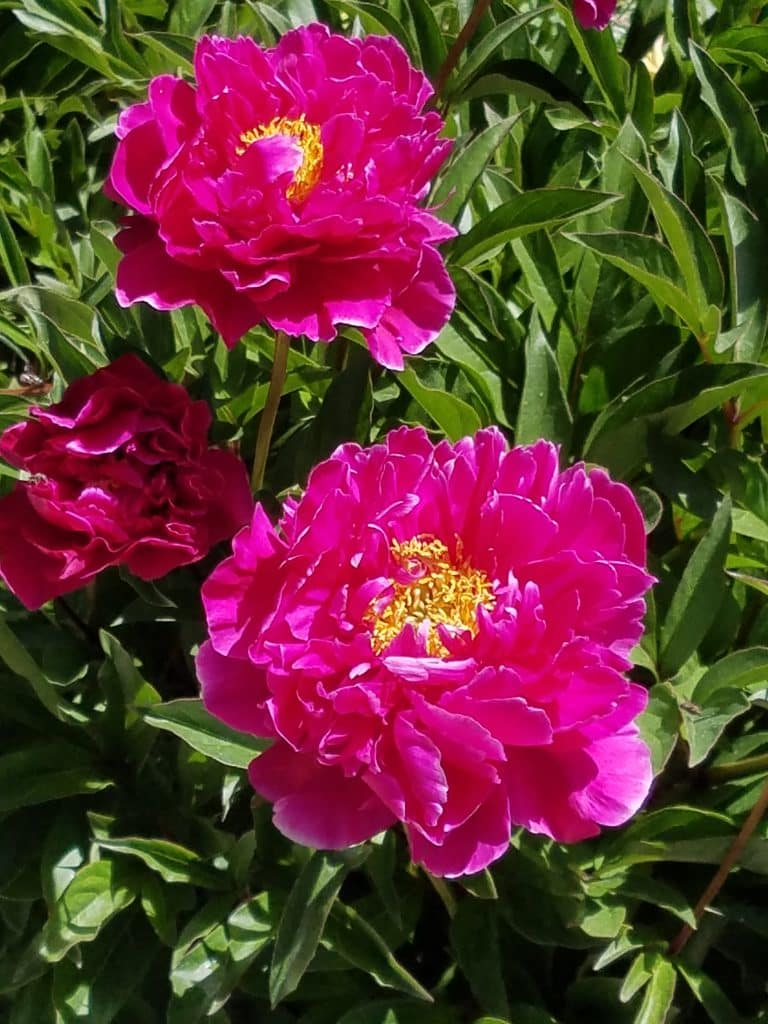 Peonies in Bloom at the Botanic Park