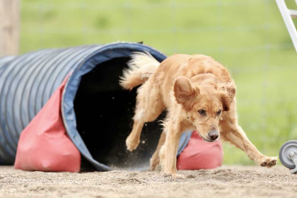 Louie practicing the tunnel in dog agility.