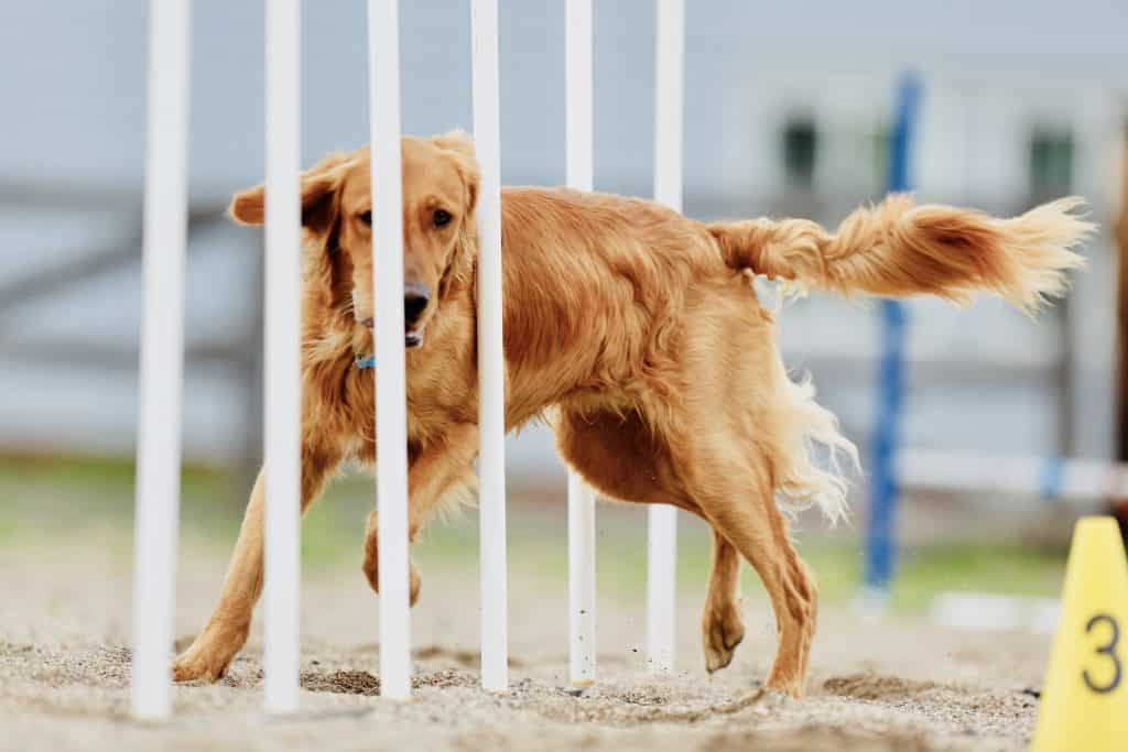 Jigsaw practicing in the weave poles in dog agility.