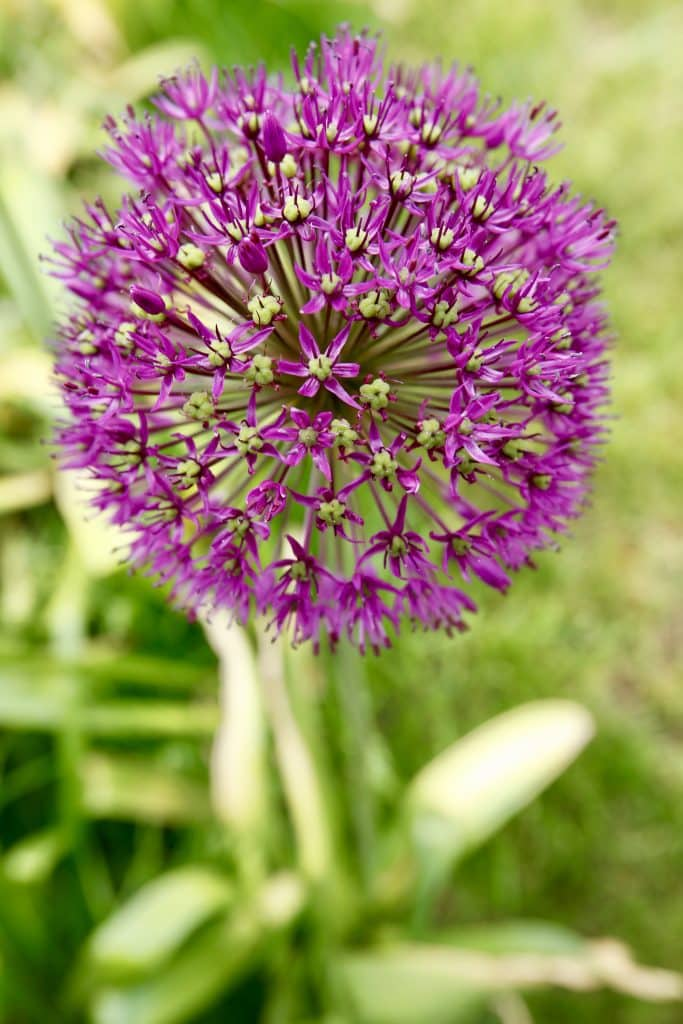 Allium hollandicum (correct spelling and lower case h) - looks like 4th of July fireworks.