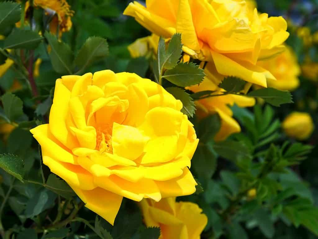 Yellow Rose of Steamboat