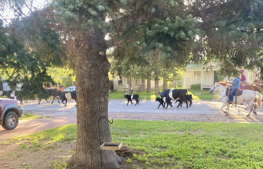 I woke up at 6:30am this morning to hoofbeats. Quick picture out the kitchen window to cattle being driven down Main St in Yampa. Yampa Life!