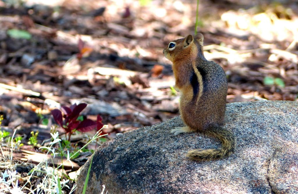 Here's a picture of a chipmunk in the yard in Steamboat Springs. Nothing special. But it shows we do have more animals than just moose and bears.