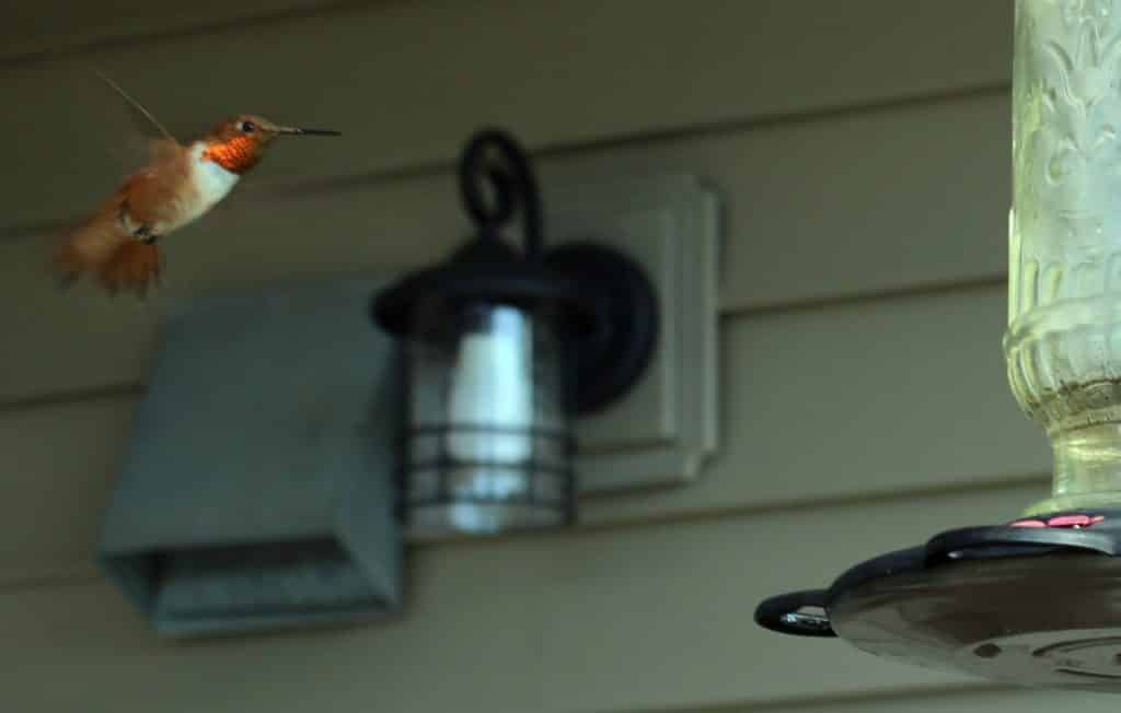 A feisty male Rufous reigns over our feeder