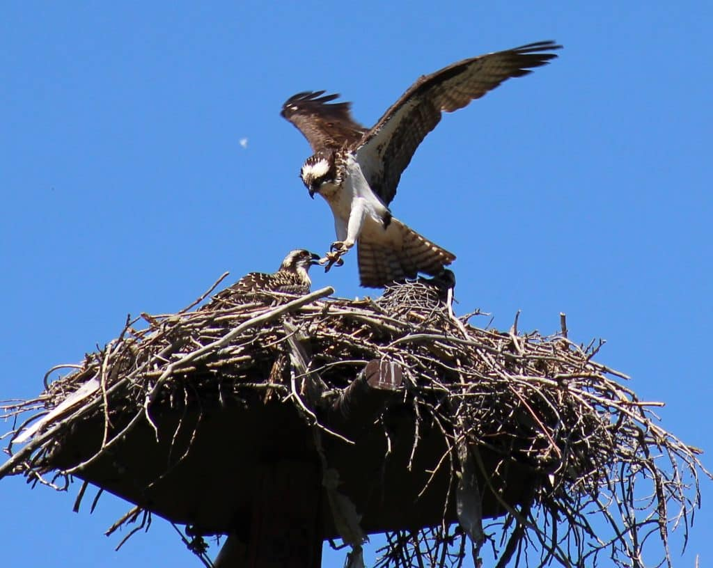 Botanic park osprey nest had 5 occupants on Monday. Mom with 4 juveniles.   Mom stretches her wings above 1 young raptor. A male osprey perches on a tree branch, across the Yampa river.