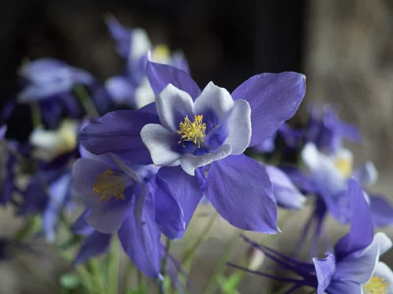 Columbine in Routt County