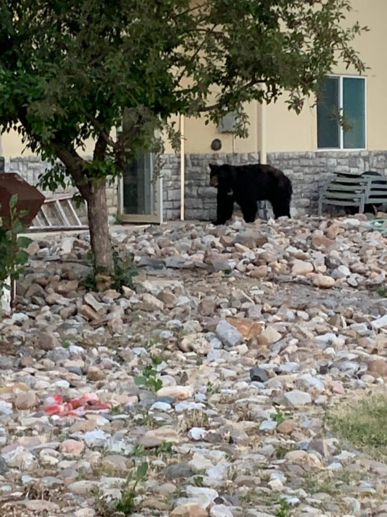 Bear at the La Quinta in STeamboat Springs