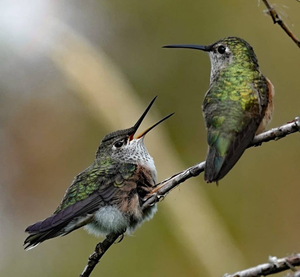 Feeeed me!!!! Broad-tailed Hummingbird fledgling begging for food from its momma