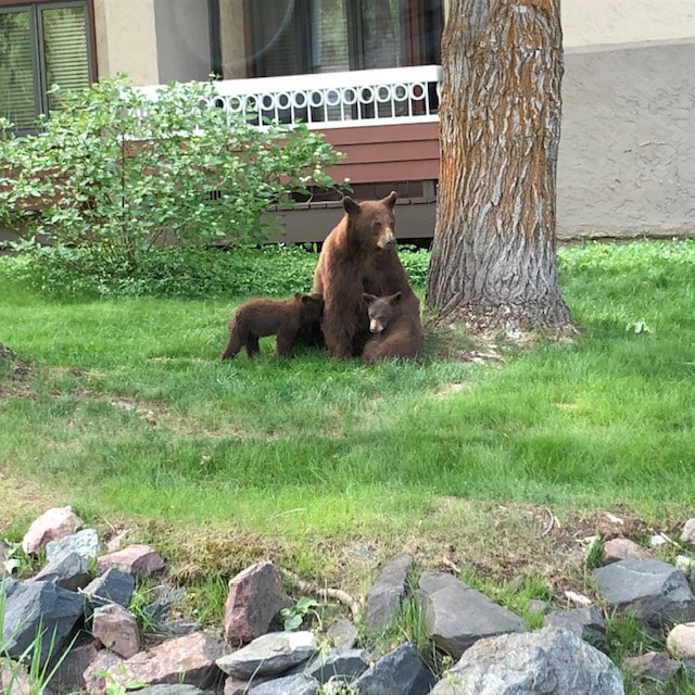 Bear and cubs At Trappeur's crossing