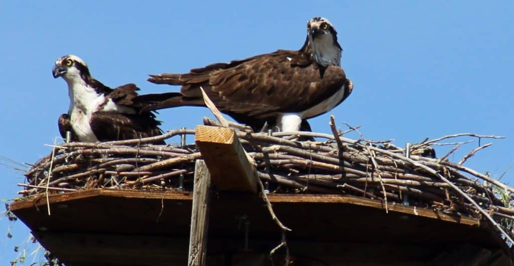 Mother and a young osprey in the new nest off of Weiss Drive in Steamboat Springs.