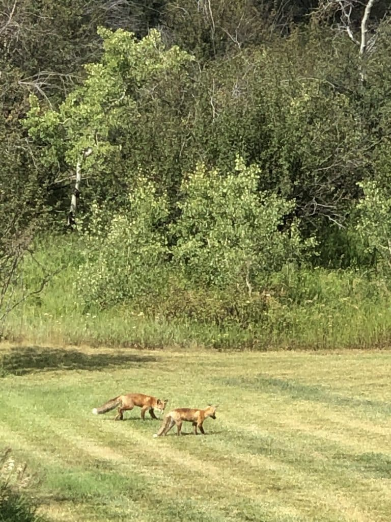 Two foxes in our yard