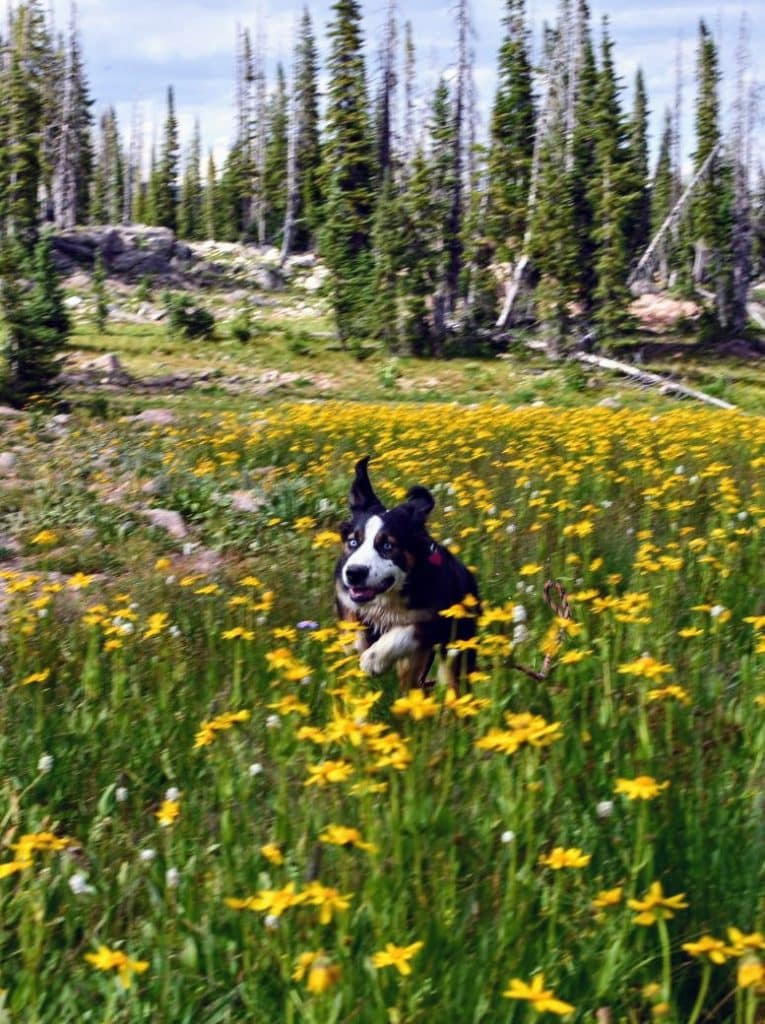 Pacer romping in the flowers at Summit Lake.