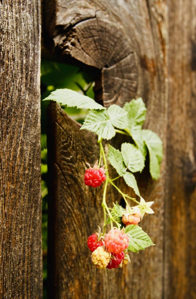 Raspberries through fence in Steamboat Springs. Determination and/or resilience?