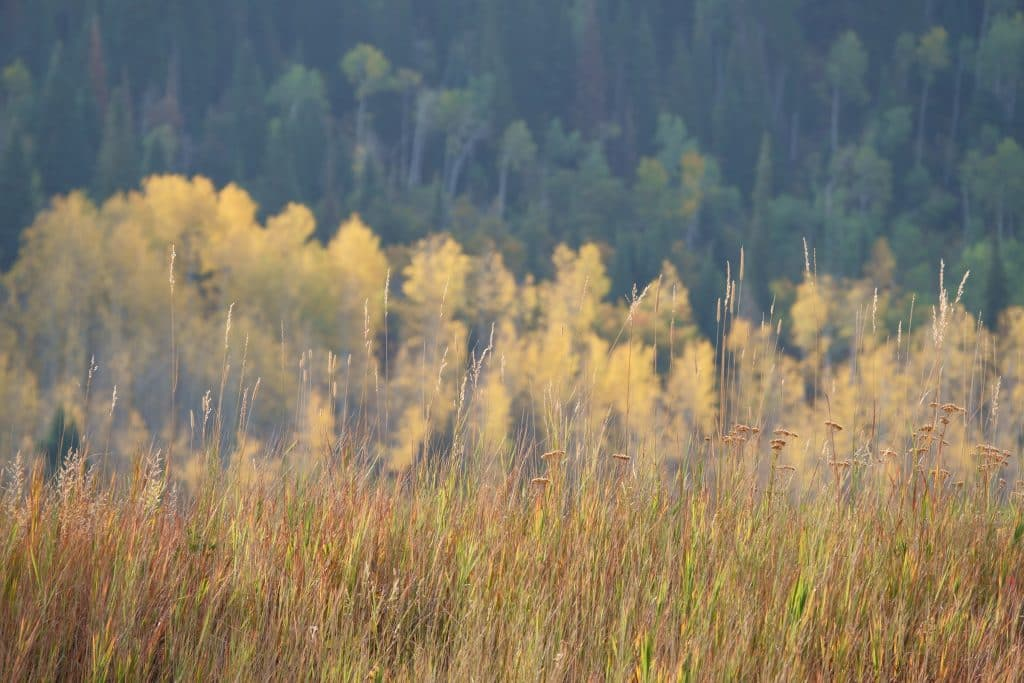 Colorful grass and aspens in Routt County