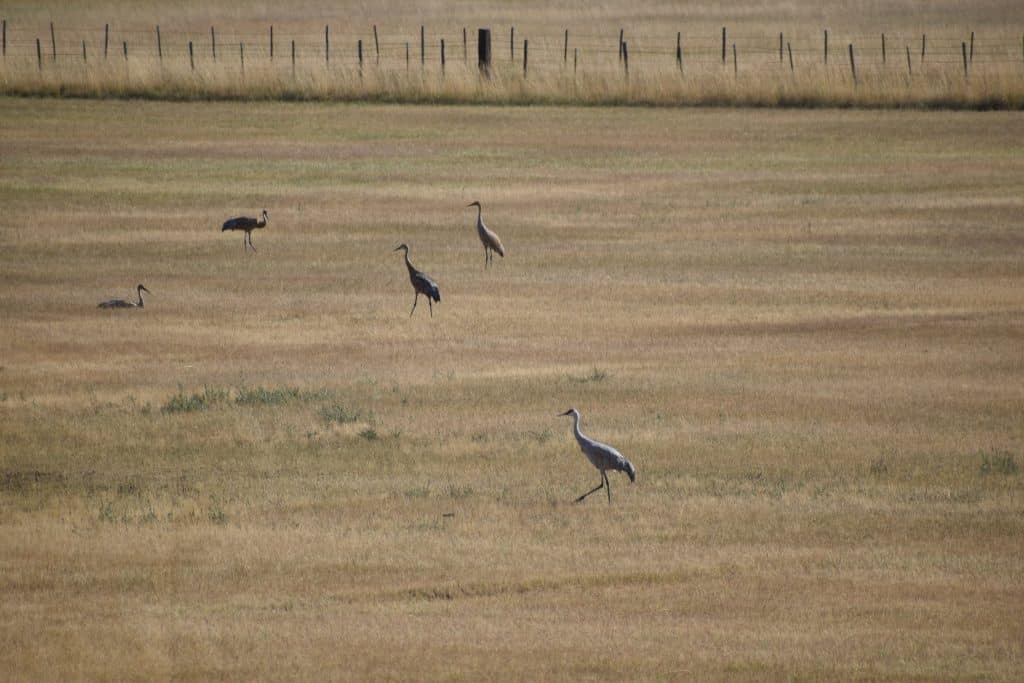 Working sheepherder wagon , sandhill cranes and the beautiful fall colors.