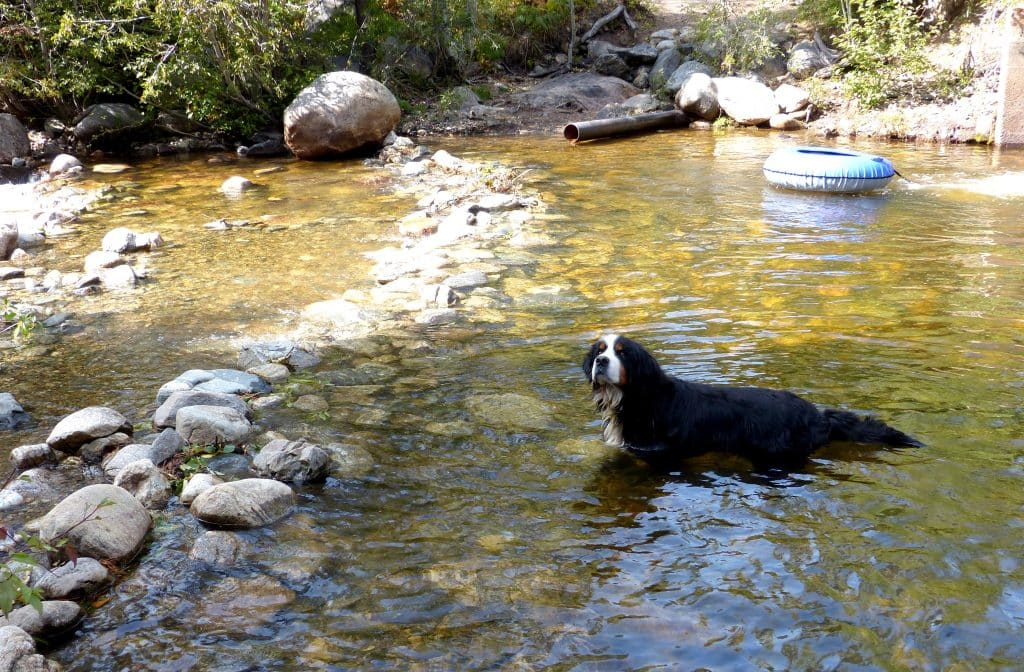 Lambeau, the Bernese mountain dog, cooling off in Fish Creek, off Steamboat Blvd. today.