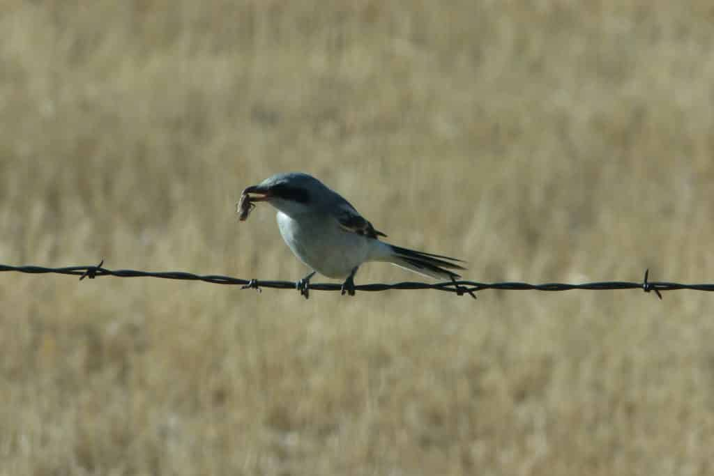 Northern shrike eating grasshopper.