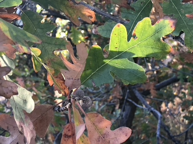 Fall scrub oak
