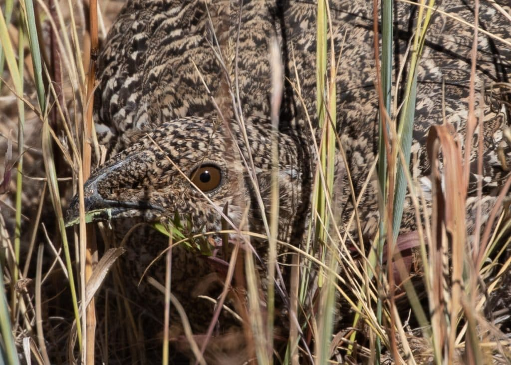 Greater sage-grouse in Western Routt County.