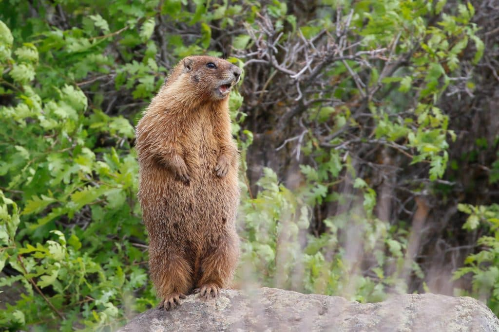 Yellow-bellied marmot (whistle pig) from Western Routt County this summer.