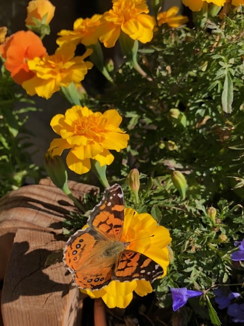 Pansies, Marigolds and Lobelias hanging on for the mini Monarch Butterfly
