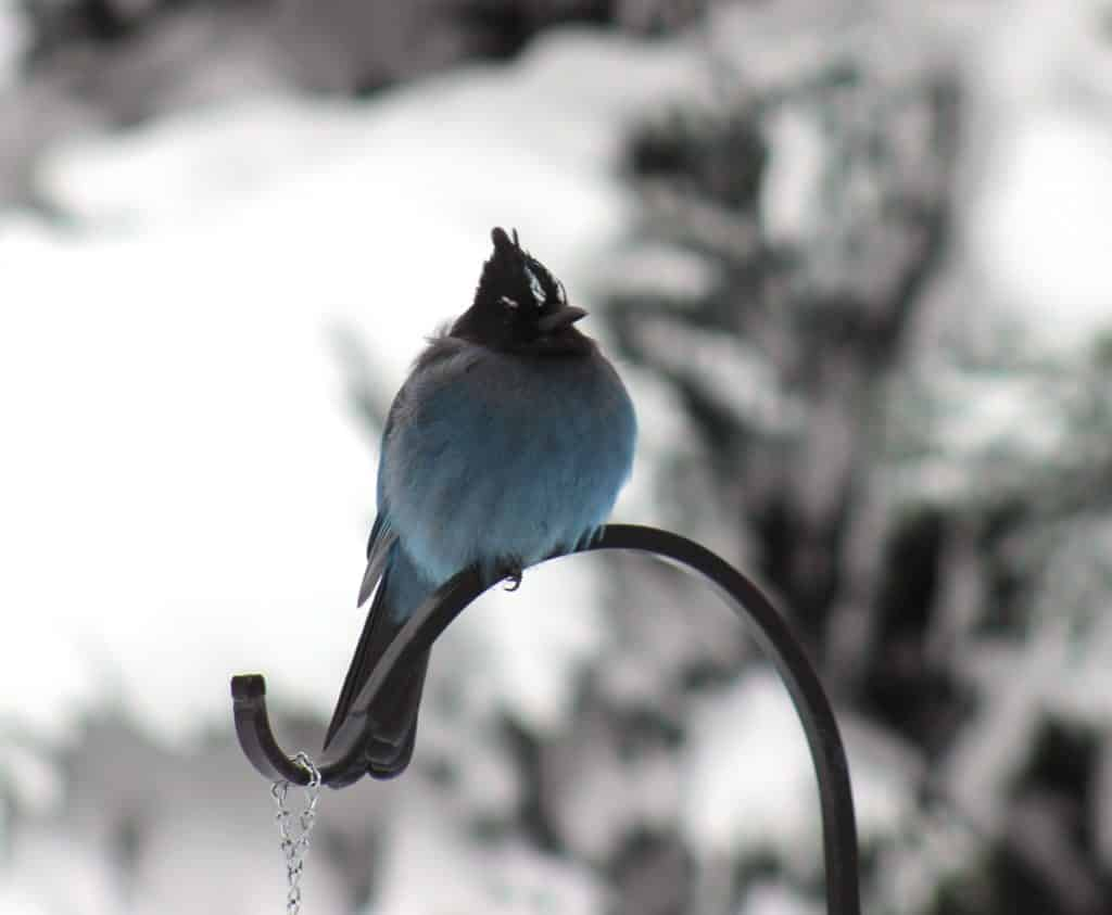 Handsome Stellar jay on a cold morning: too bad he doesn't sing