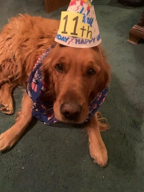 """Bella Beau celebrates her 11th """"golden"""" birthday on 11/11,  Veteran's Day. Girlfriend of Henry. Mom of Rufus, Coca, Delilah, Fiona, Mossy and Nellie- all of Steamboat."""