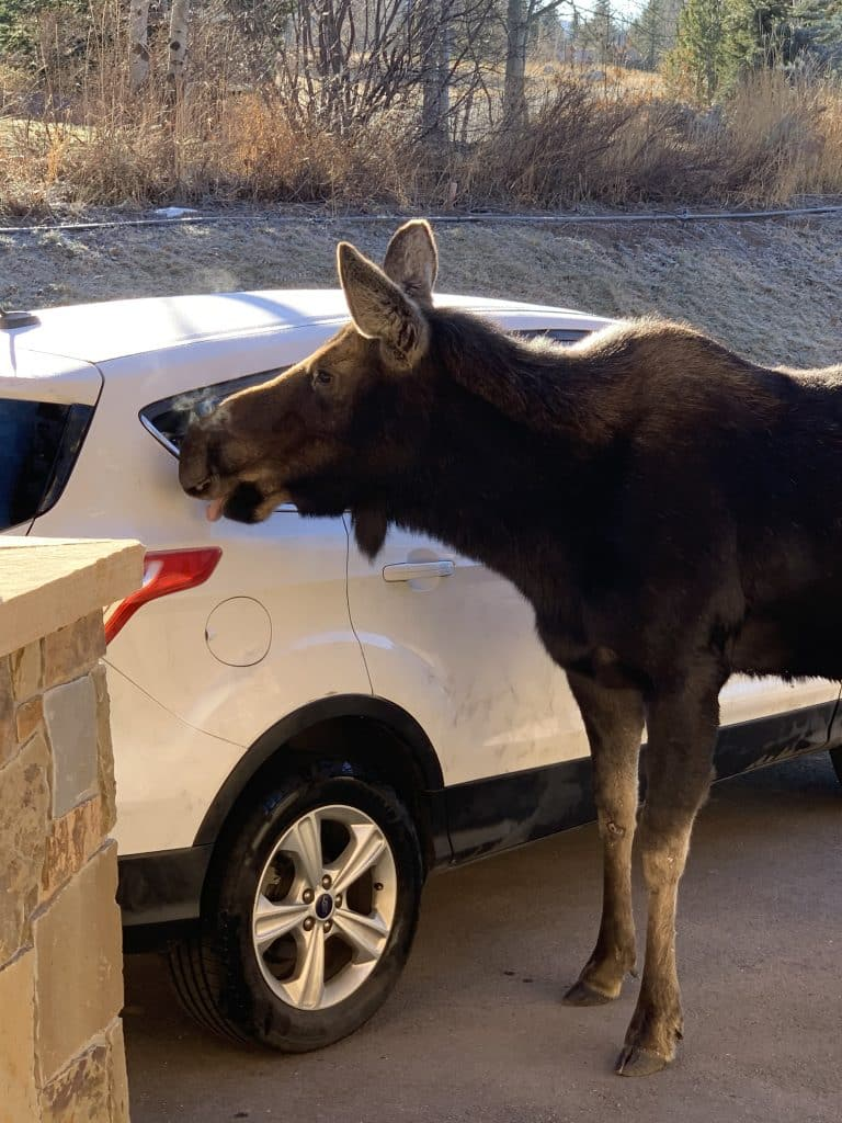 Free Moose car wash in the fish creek area...