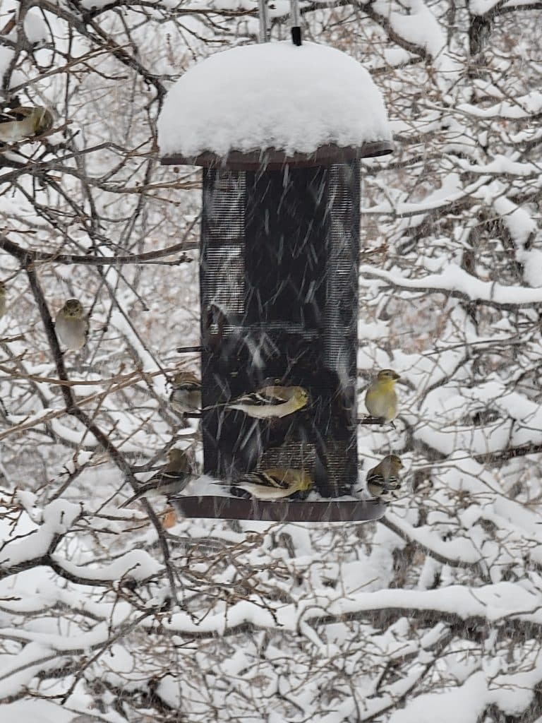 The goldfinches are undeterred by the snow!