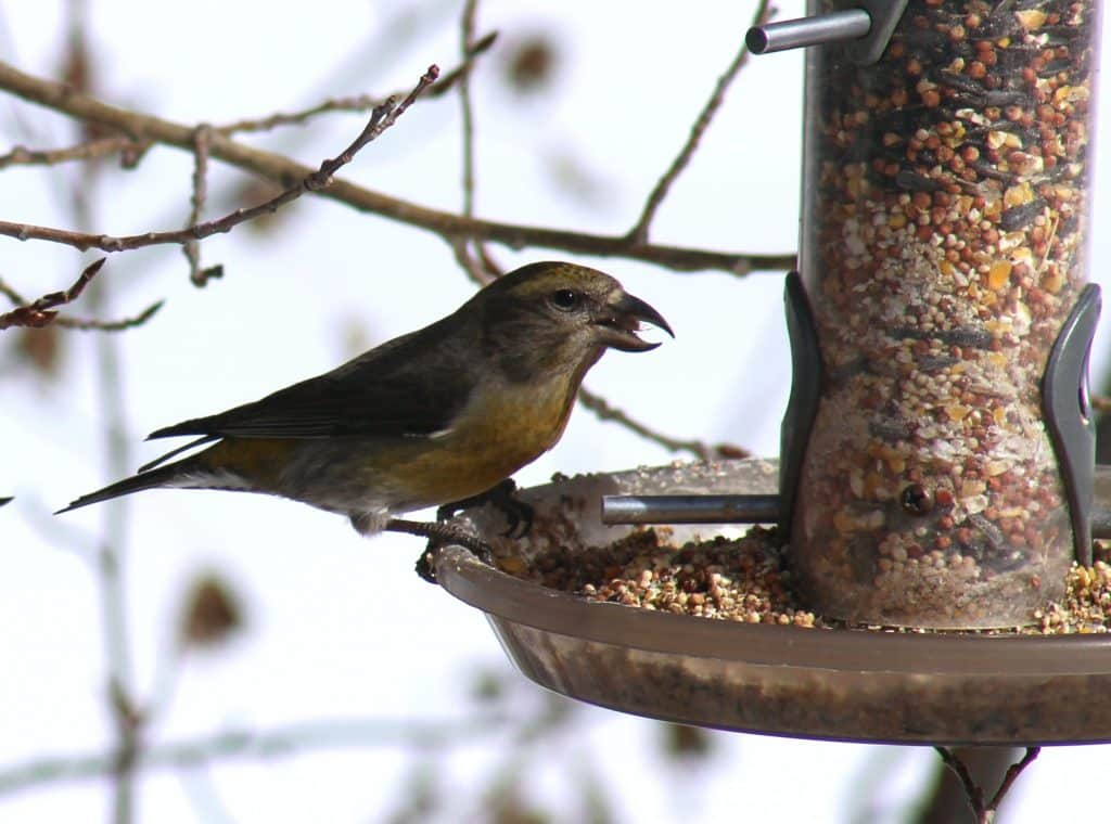 A pair of female red crossbills came by on Saturday.