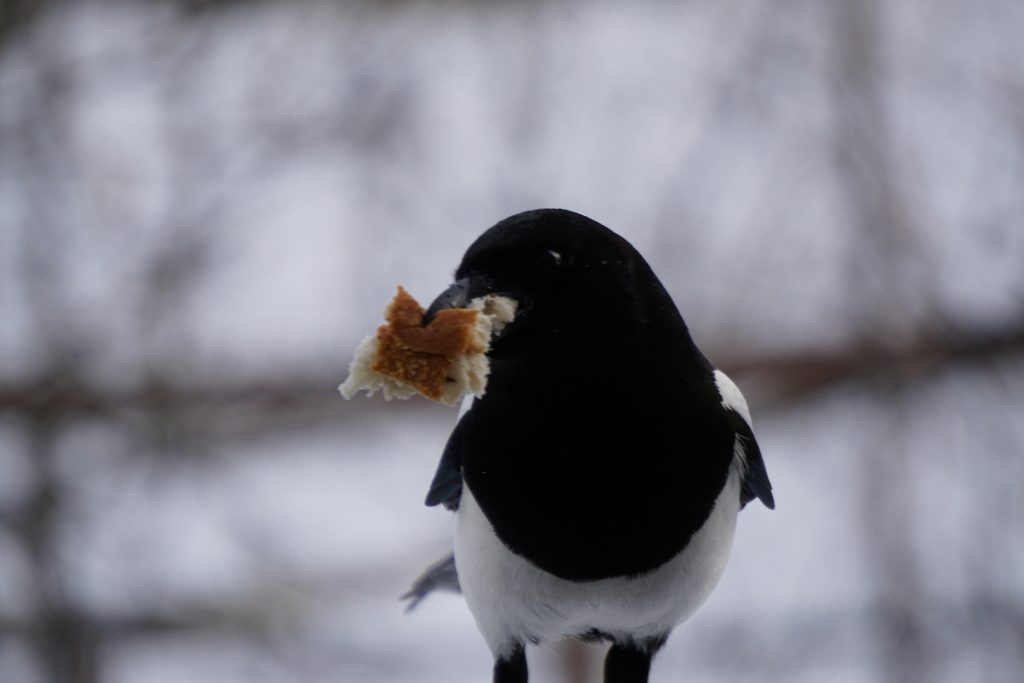 Magpie eating Rye (Bread)