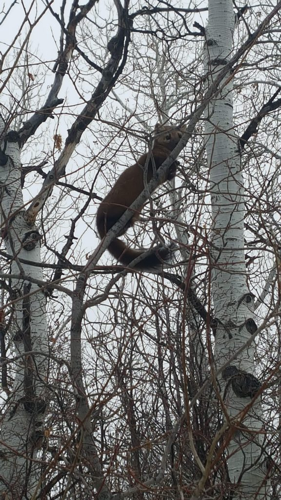 In my back yard, a fox chases a pine marten right in front of me up a tree. What a thrill, the fox lost and marten sat there for an hour in Stagecoach.