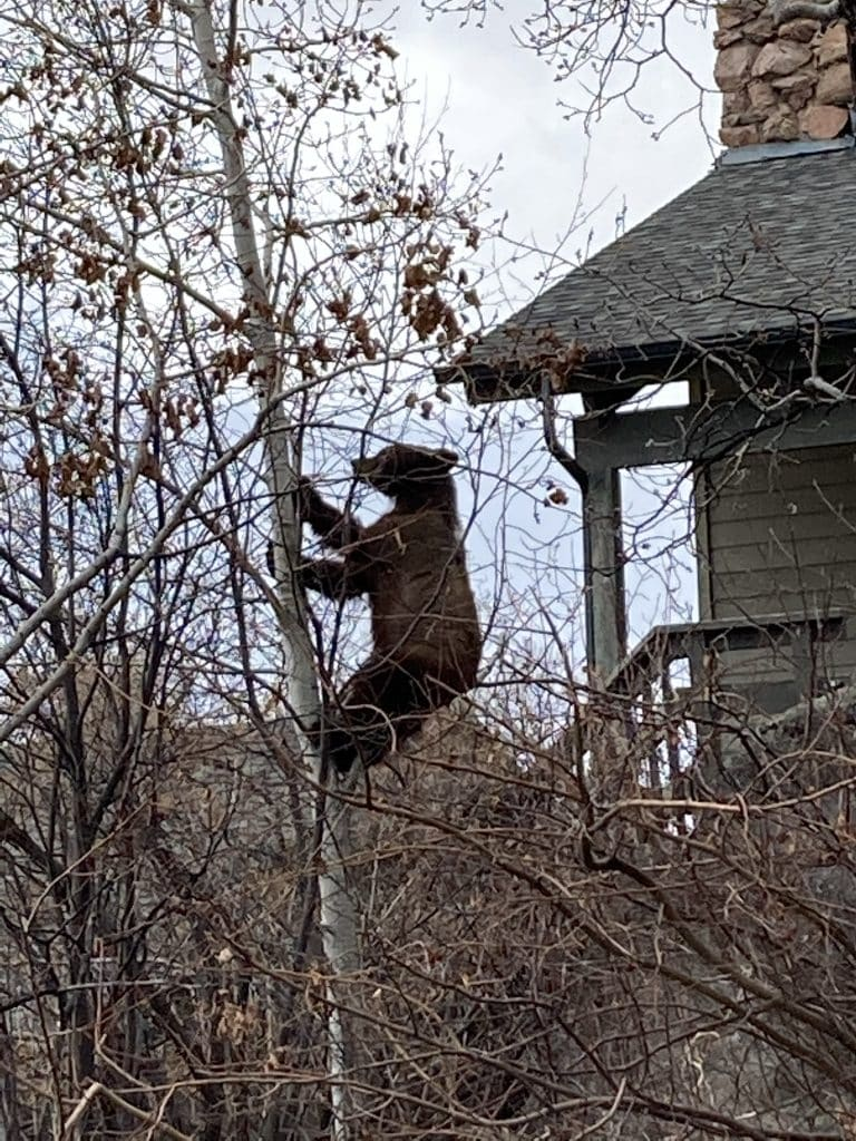 Bear on Natches Road  on Friday, March 26, in Steamboat Springs.