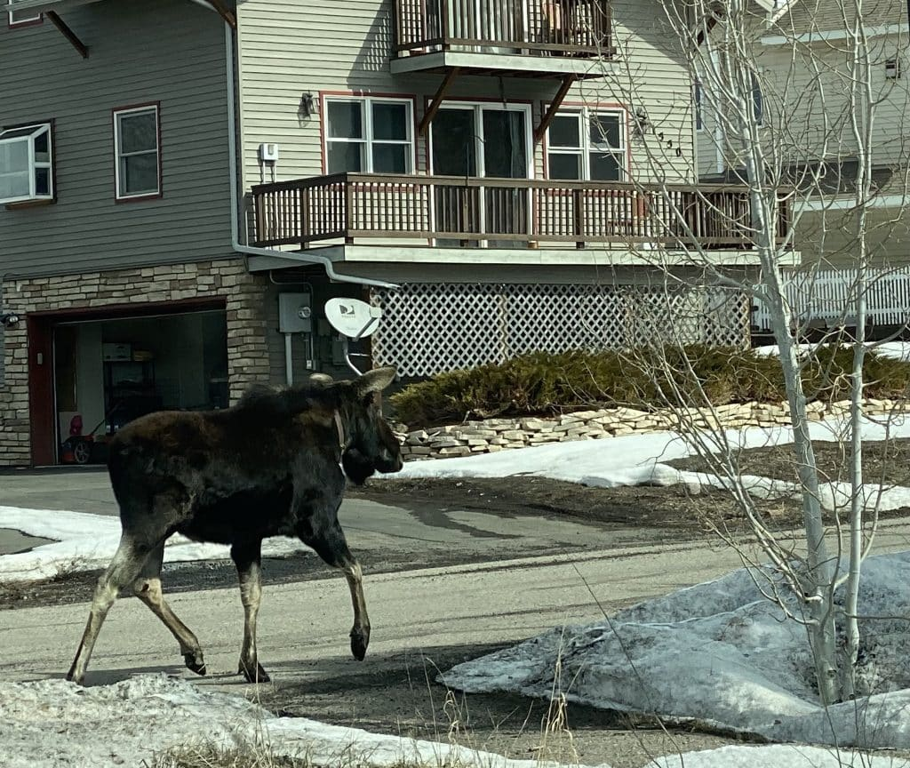 This moose was in my garage (it's not working & is on order to be replaced). He came in the garage as I left it open for fear it wouldn't open when I needed to leave again. When I finally got in the car where my phone was I was able to grab a couple pictures. He is heading up red hawk court!!!