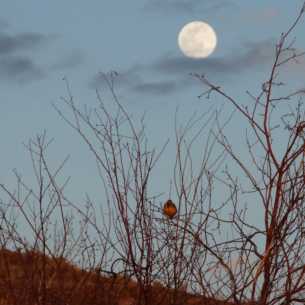 The 2 firsts of Spring - First Western Meadowlark and First Full Worm Moon