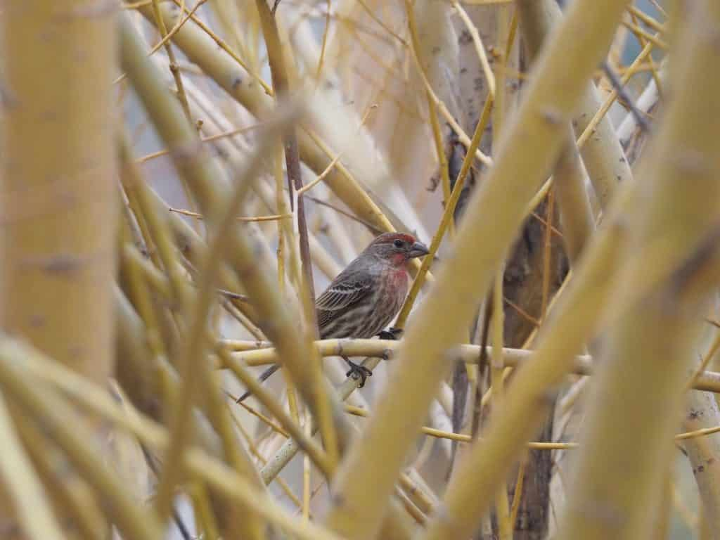 House finch at Casey's Pond