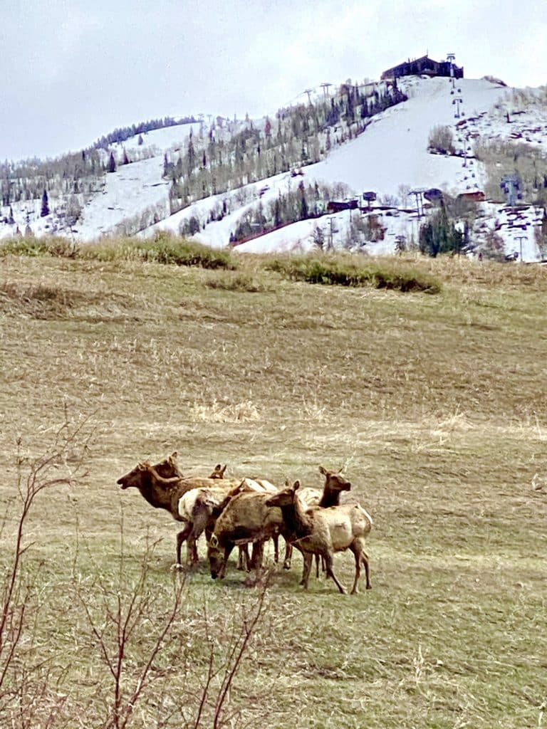 Elk with the Ski Area in background.