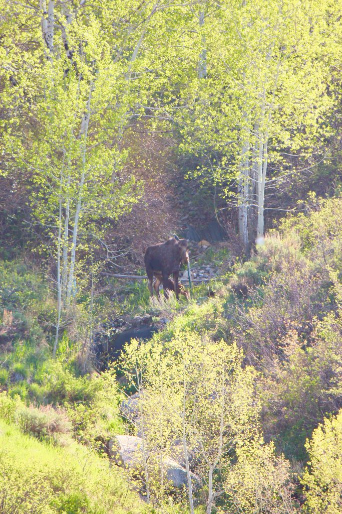 Mama moose delivers two babies this week!