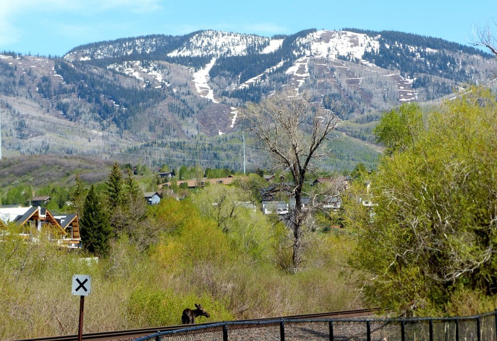 The snow is melting on the slopes of Steamboat. A moose and her calf ventured along the train tracks and the Yampa River today, near the Core Trail and the Howelsen Hill parking lot. You can see the mom/cow; her calf is in the bushes along the water's edge.