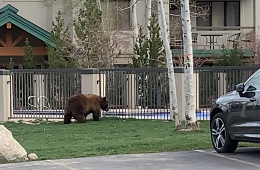 This bear has been eating pretty well! Looks like he's ready for a swim now.